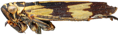 Aglenina Dmitriev: Aglena ornata, male, lateral habitus (NCSU)