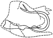Danbara Oman: Danbara aurata, male genital capsule, laterally (From DeLong, 1948a).