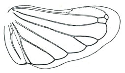 Stenometopiini Baker: Stirellus atropunctus, hindwing (From Oman, 1949a).