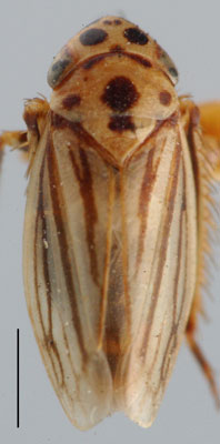 Stictocoris Thomson: Stictocoris hybneri, dorsal habitus (NMNH)