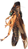 splendida Distant: Habitus, female, lateral view (holotype).